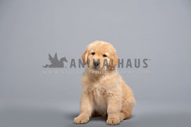 young golden retriever puppy sitting on grey paper