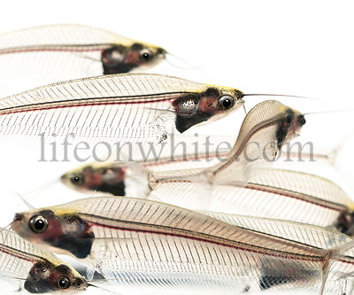 Close-up of a Ghost catfish school, Kryptopterus minor, isolated on white