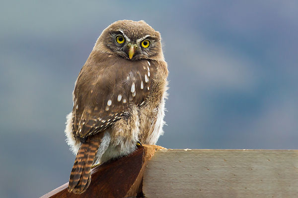 Portrait of a Pygmy Owl sitting on a piece of wood and looking straight into the camera.