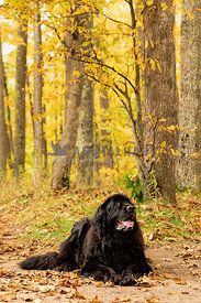 Newfoundland dog in fall forest