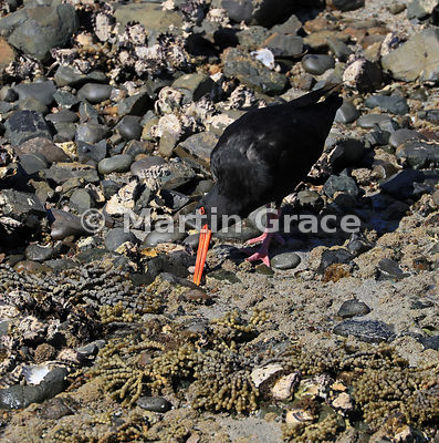 Dark morph Variable Oystercatcher (Black Oystercatcher) (Haematopus unicolor) feeding on shellfish beds exposed at low tide, ...