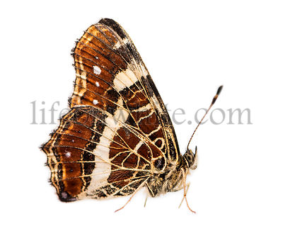 Side view of a Map butterfly landed on the ground, Araschnia levana, isolated on white