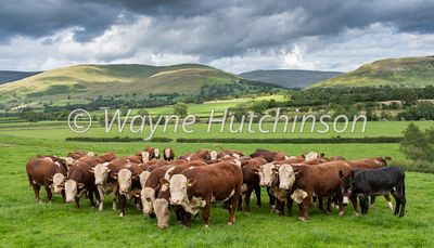 Herd of young  Hereford bulls in pasture land near Kirkby Lonsdale with Barbondale fells in the background, Cumbria, UK.