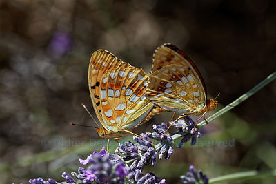 Common Blue couple on lavender