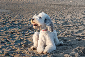 large white sheepadoodle laying in the sand