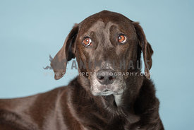 close up of dark brown lab mix looking up and away