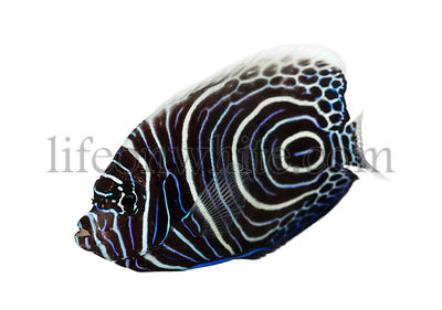 Emperor Angelfish, Pomacanthus imperator, isolated on white