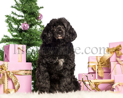 Tibetan terrier sitting in front of Christmas decorations against white background