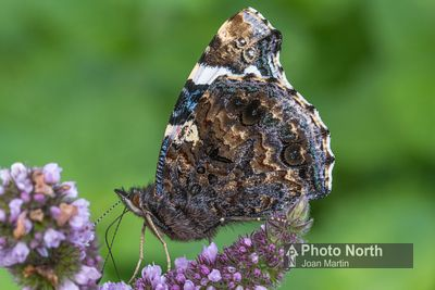 BUTTERFLY 20B - Red Admiral