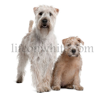 Two Soft-Coated Wheaten Terriers, 1 year old and 11 years old, standing in front of white background