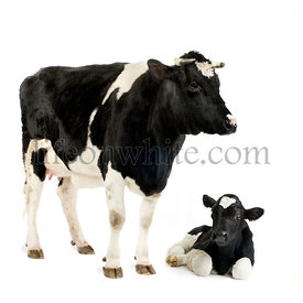 Holstein Cow and her calf