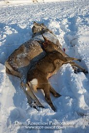 Image -  Red Deer hind and fawn lying dead after being shot in Glen Lui, Cairngorms, Scotland