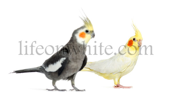 Two Cockatiel, isolated on white