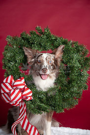 Red Merle Border Collie with Wreath around neck