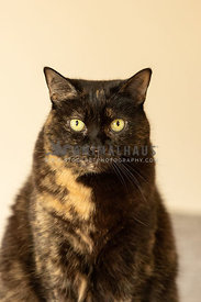 A tortie cat looking at the camera