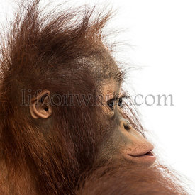 Close-up of a young Bornean orangutan\'s profile, Pongo pygmaeus, 18 months old, isolated on white