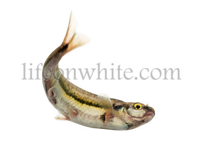 Eurasian minnow swimming, viewed from below, Phoxinus phoxinus, isolated on white