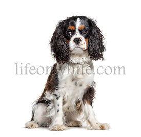 Sitting Cavalier King Charles looking at the camera, isolated on white
