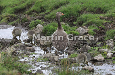 Adult Greylag Goose (Anser anser) supervising its brood of five goslings as they feed and drink, Badenoch & Strathspey, Highl...