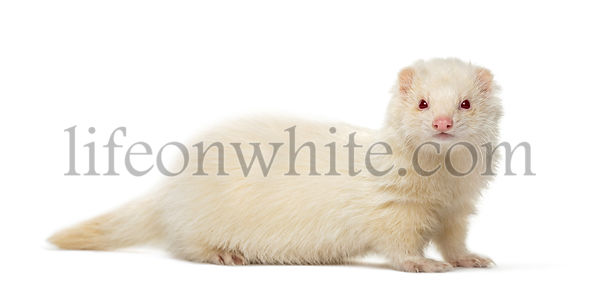 White Ferret looking at the camera, isolated on white