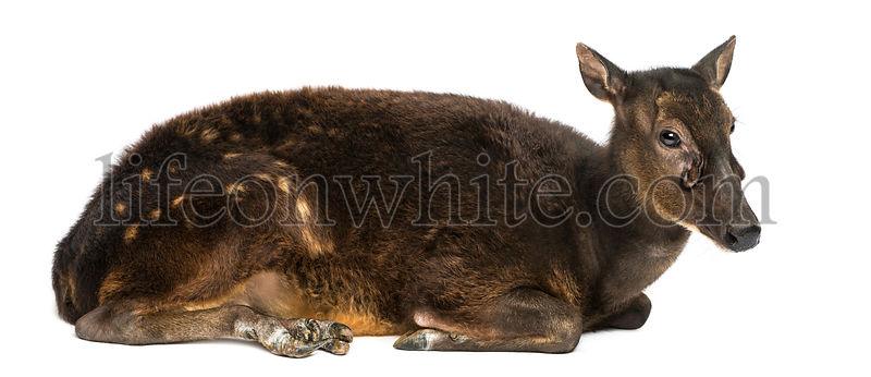 Side view of a Visayan spotted deer lying, Rusa alfredi, isolated on white