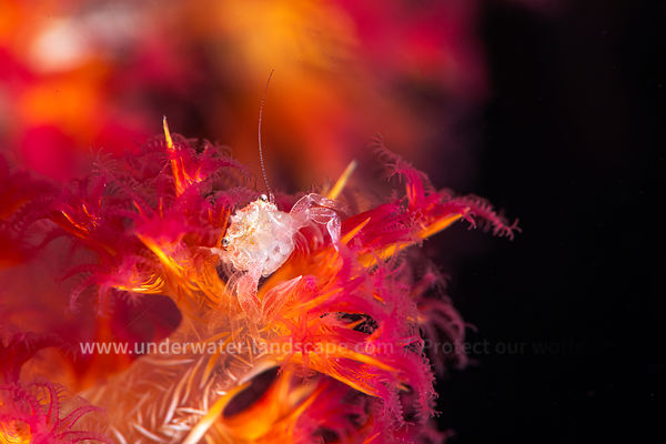 Small thorny soft coral crab