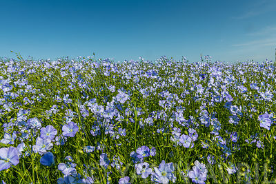 Cultivated flax (Linum usitatissimum) field in bloom ∞ Champ de lin en fleurs, France, Hauts de France