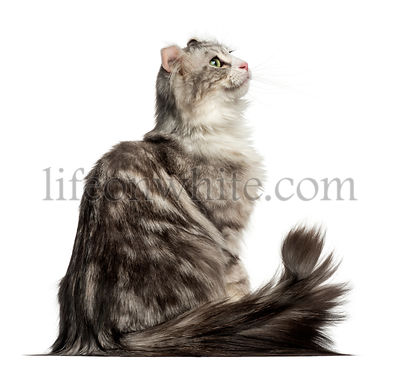 Side view of an American Curl sitting, looking up, isolated on white