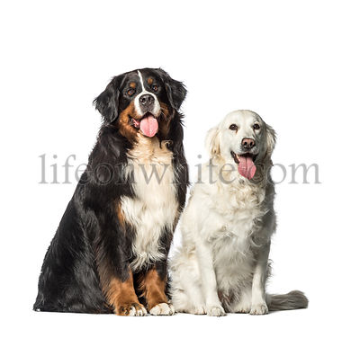 Bernese Mountain dog, Golden Retriever sitting in front of white background