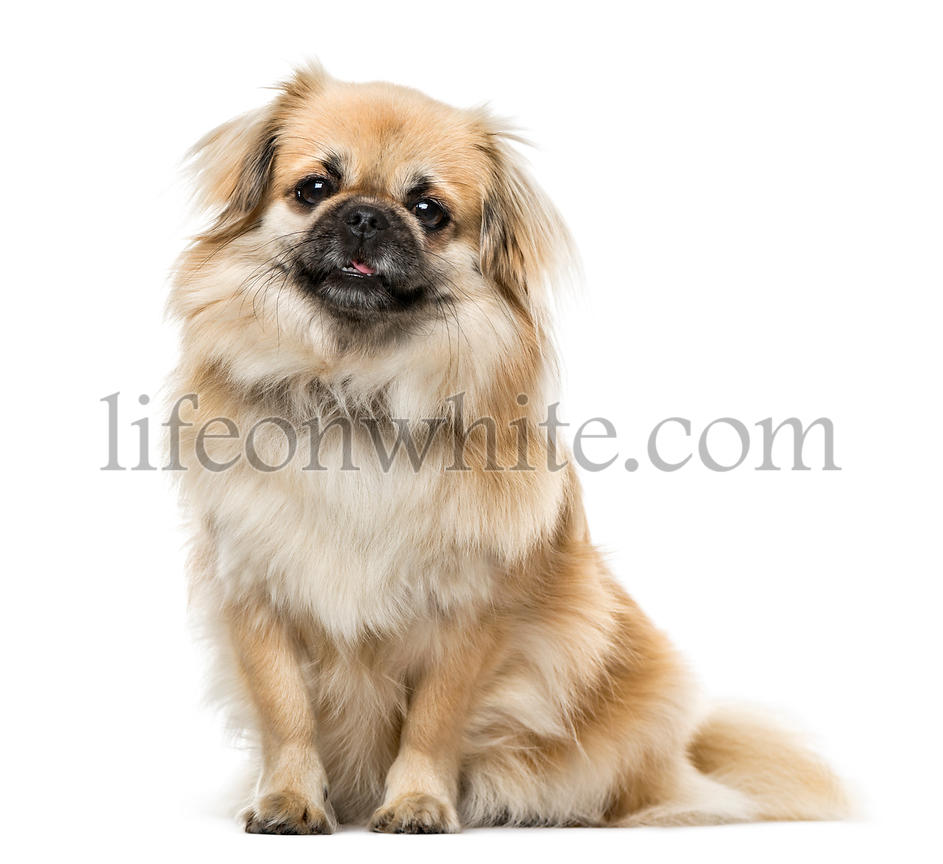 Tibetan Spaniel sitting, 2 years old , isolated on white