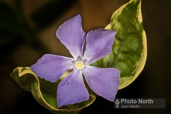 PERIWINKLE 01A - Periwinkle