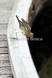 Female Common Chaffinch (Fringilla coelebs) peering over the edge of a boardwalk for flying insects to pursue in the air, Oka...