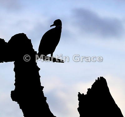 Silhouetted Pied Shag (Phalacrocorax varius varius) perching in a dead, washed-up tree, Farewell Spit, Golden Bay, South Isla...