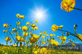 Buttercup meadow with sun (lat. ranunculus acris) - Europe, Germany, Bavaria, Upper Bavaria, Garmisch-Partenkirchen, Murnau, ...