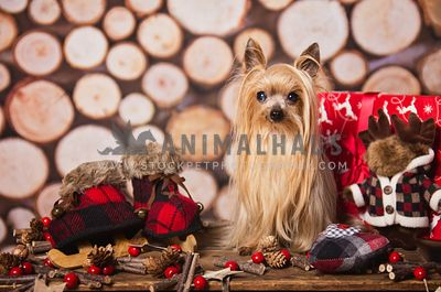 Small yorkie in Holiday decor