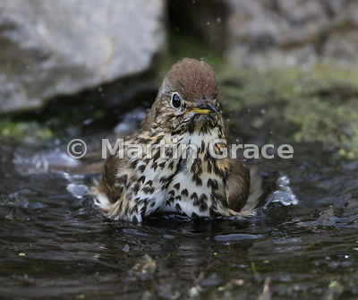 Song Thrush (Turdus philomelos) bathing in my garden pond, Lake District National Park, Cumbria, England
