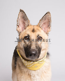 German Shepherd headshot with studio light on light gray background with yellow bandana