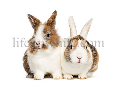Two Rabbits sitting together, isolated on white