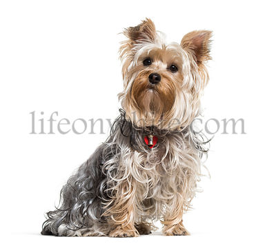 Yorkshire terrier dog sitting against white background