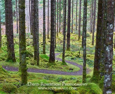 Image - Forest walk near Invergarry, Lochaber, Highland, Scotland.  A winding path through moss and tree trunks.