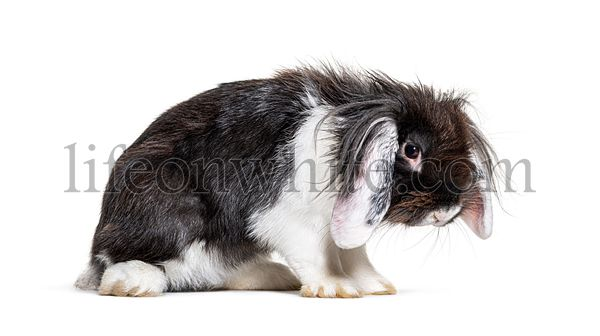 Shaggy Black and white Lop Rabbit in a bad mood, isolated
