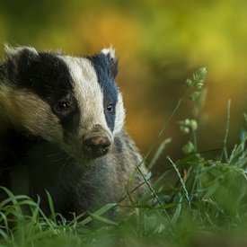 Autumnal Badger