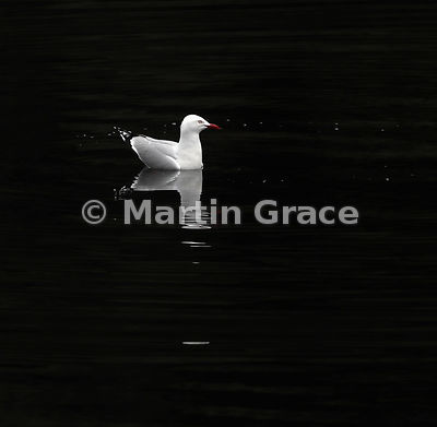 High-contrast image of a Red-Billed Gull (Larus novaehollandiae scopulinus) sitting on the water of Doubtful Sound, Fiordland...