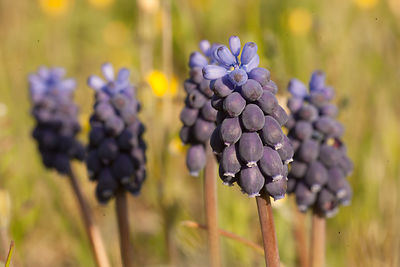 Muscari à grappe (Muscari neglectum) / Grape-hyacinth