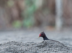Melanesian Megapode Megapodius eremita at nesting ground excavating nest chamber to lay an egg on Savo Island, Solomon Island...