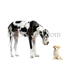 Great Dane HARLEQUIN meets a puppy Labrador