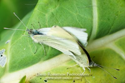 Image - Mating Cabbage White Butterflies