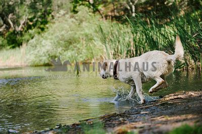 A yellow lab running into a lake