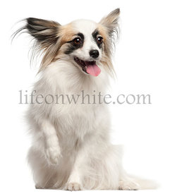 Papillon, 15 months old, sitting in front of white background