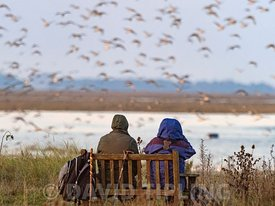 People watching the spectacular high tide Knot roost on the Wash at Snettisham RSPB Reserve in Norfolk, autumn
